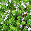 "Myoporum Pink Live Plants Groundcover Plants- - 24 Live Plants From 2"""" Plug"