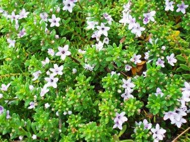 "Myoporum Pink Live Plants Groundcover Plants- - 24 Live Plants From 2"""" Plug"