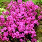 "PHLOX SUBULATA PINK Live Plants Groundcover Plant - 24 Live Plants From 2"""" Plug"