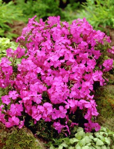 "PHLOX SUBULATA PINK Live Plants Groundcover Plant - 24 Live Plants From 2"""" Plug"