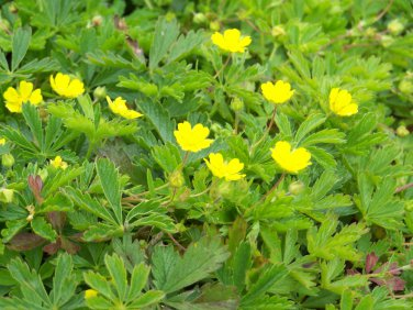 "POTENTILLA VERNA Live Plants Groundcover Plant - 24 Live Plants From 2"""" Plug"