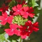 "VERBENA PERUVIANA RED Live Plants Groundcover Plant - 24 Live Plants From 2"""" Plug"