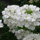 "VERBENA PERUVIANA WHITE Live Plants Groundcover Plant - 24 Live Plants From 2"""" Plug"