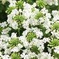 "VERBENA PERUVIANA WHITE Live Plants Groundcover Plant - 24 Live Plants From 2"""" Plug"