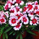 """DIANTHUS SUPER PARFAIT RASPBERY Live Plants Flower Plant - 24 Live Plants From 2"""""""" Plug"""