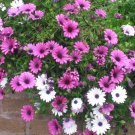 "AFRICAN DAISY PASSION MIX Live Plants Groundcover Plant - 24 Live Plants From 2"""" Plug"