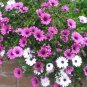 """AFRICAN DAISY PASSION MIX Live Plants Groundcover Plant - 24 Live Plants From 2"""""""" Plug"""