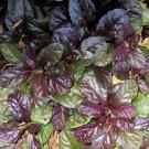"AJUGA MAHOGANY Live Plants Groundcover Plant - 24 Live Plants From 2"""" Plug"