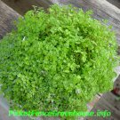 """BABY TEARS Live Plants Groundcover Plant - 24 Live Plants From 2"""""""" Plug"""