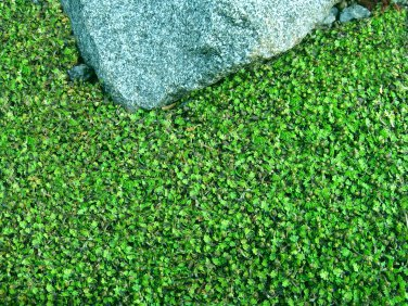 "BRASS BUTTONS MINI GREEN Live Plants Groundcover Plant - 24 Live Plants From 2"""" Plug"