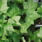 "IVY HAHN'S Live Plants Groundcover Plant - 24 Live Plants From 2"""" Plug"
