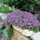 """THYME CREEPING Live Plants Groundcover Plant - 24 Live Plants From 2"""""""" Plug"""