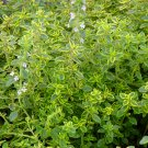 "THYME LEMON Live Plants Groundcover Plant - 24 Live Plants From 2"""" Plug"