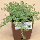 "THYME WOOLLY Live Plants Groundcover Plant - 24 Live Plants From 2"""" Plug"