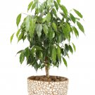 Ficus Benjamina Green aka Weeping Fig, Benjamin Fig Live Plant - Indoor Live Plant Fit 1 Gallon Pot