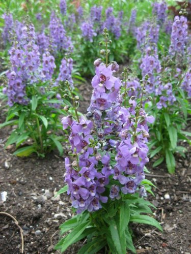 Angelonia Blue aka Angelonia angustifolia Live Plant - Indoor Live Plant Fit 1QRT Pot