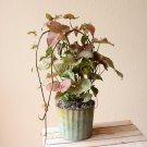 Red Nepthytis aka Araceae Live Plant - Indoor Live Plant Fit 1QRT Pot