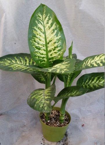 Dieffenbachia Snow aka Dumbcane Live Plant - Indoor Live Plant Fit 1QRT Pot