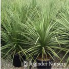 Dracaena Marginata aka Dragontree Live Plant - Indoor Live Plant Fit 4IN Pot