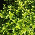 "THYME LIME Live Plants Groundcover Plant - 24 Live Plants From 2"""" Plug"