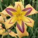 Calico Blue Baby Daylily 3 fans