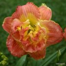 Ring of Honor Peach Daylily 3 fans