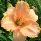 Its a Miracle Daylily 5 seeds