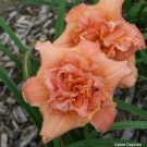 Teetotaly Yours Daylily 3 fans