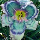 Fading in the Rain Daylily 3 fans