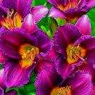Purple De Oro Daylily 3 fans