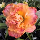 Love This Day Daylily 3 fans