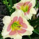 When my Sweetheart Returns Daylily 3 fans