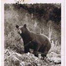 Matheson Ontario Postcard Black Bear Real Photo
