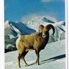 Animal Laminated Postcard RPPC Bighorn Sheep Canadian Rockies