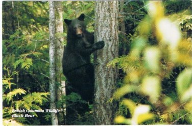 British Columbia Postcard Black Bear British Columbia Wildlife Animal