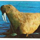 Manitoba Laminated Postcard RPPC Walrus Donated to Museum Churchill