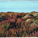 Manitoba Laminated Postcard RPPC Arctic Willow Herb Churchill