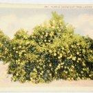CT Teich Florida Grapefruit Trees Fruit Linen Postcard
