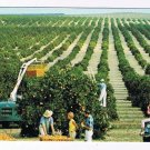 Florida Postcard Golden Harvest Picking Oranges