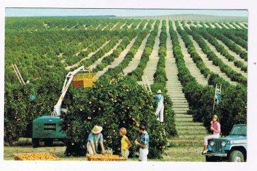 Florida Postcard Golden Harvest Picking Oranges
