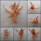 BHA02 - Chicoreus axicornis 65.25mm