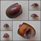 AGB40 - Neripteron rubicundum 13.74mm