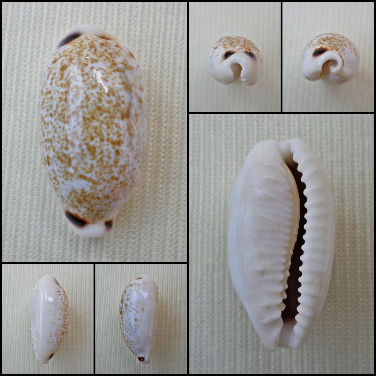 BFA05 - Eclogavena quadrimaculata 21.71mm