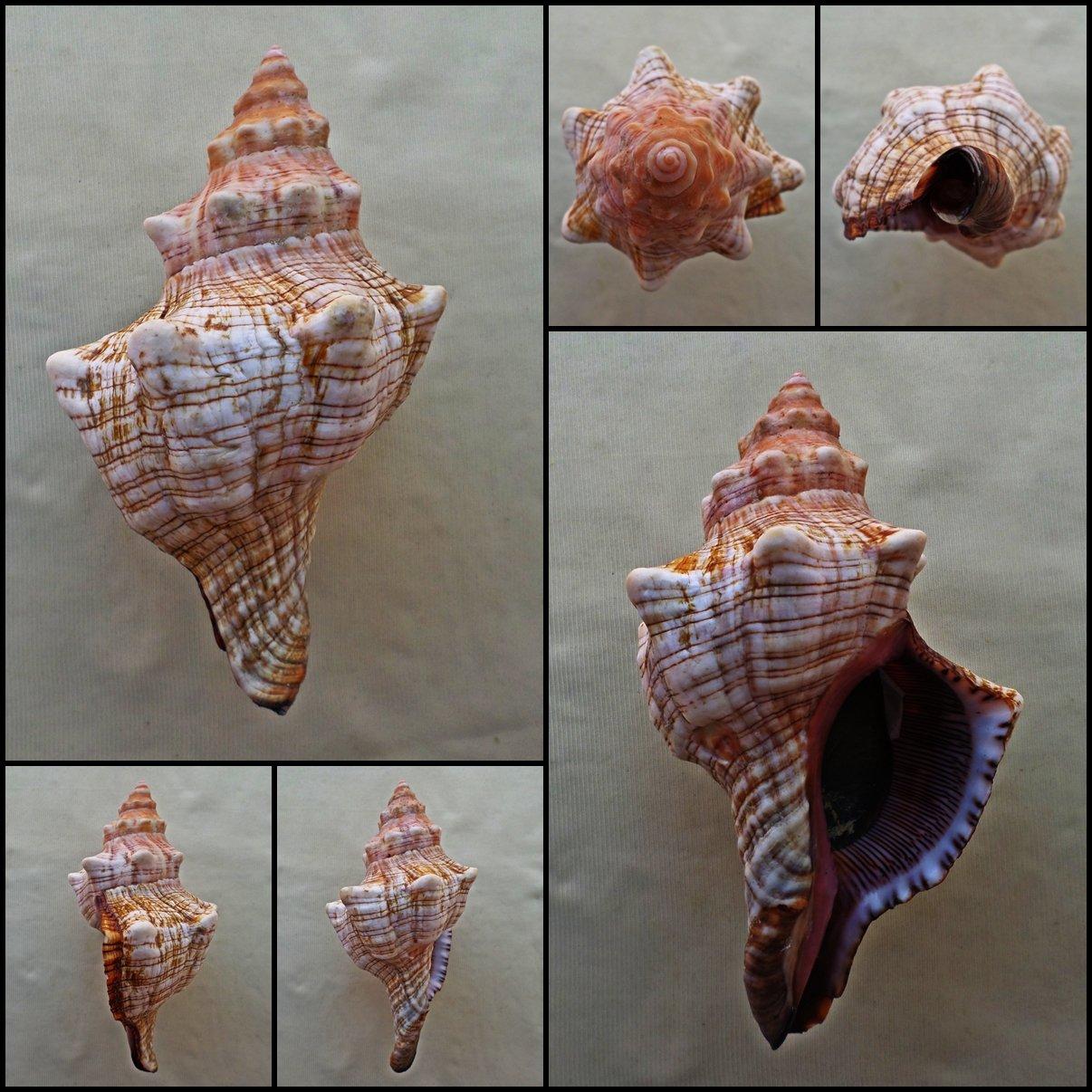 BLB02 - Pleuroploca trapezium