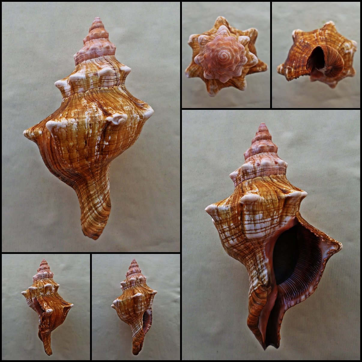 BLB03 - Pleuroploca trapezium