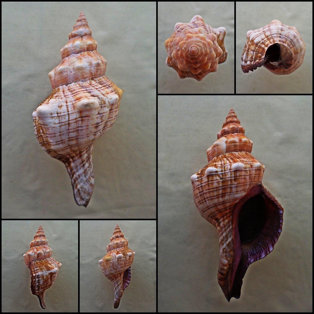 BLB04 - Pleuroploca trapezium