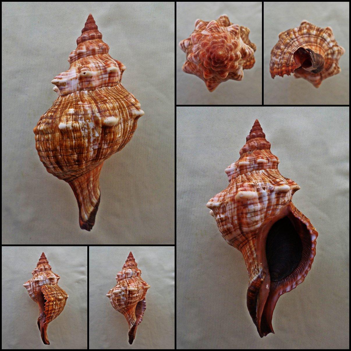 BLB06 - Pleuroploca trapezium