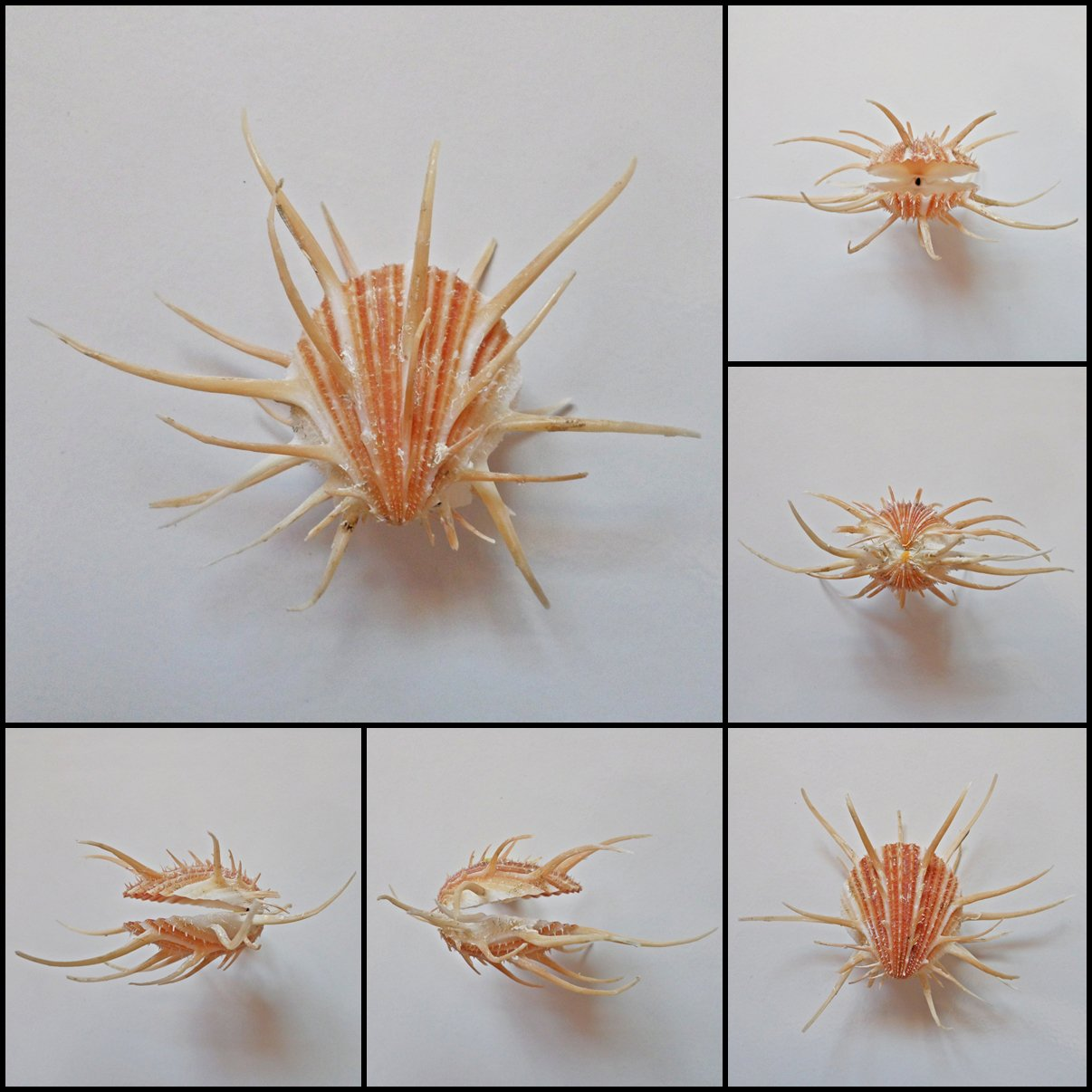 BDA02 - Spondylus imperialis