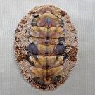AEA16 - Acanthopleura gemmata 54.11mm