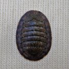 ACB33 - Ischnochiton caliginosus 12.79mm